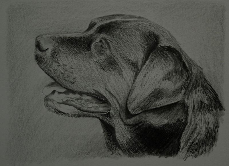 ostatní-Labrador 2